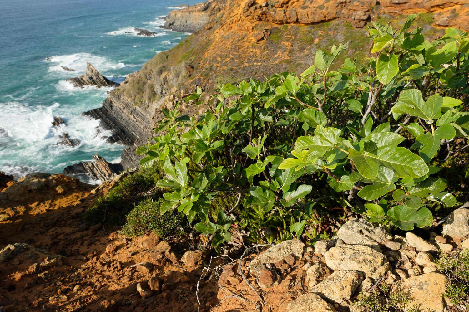 Small fig trees in the cliffs