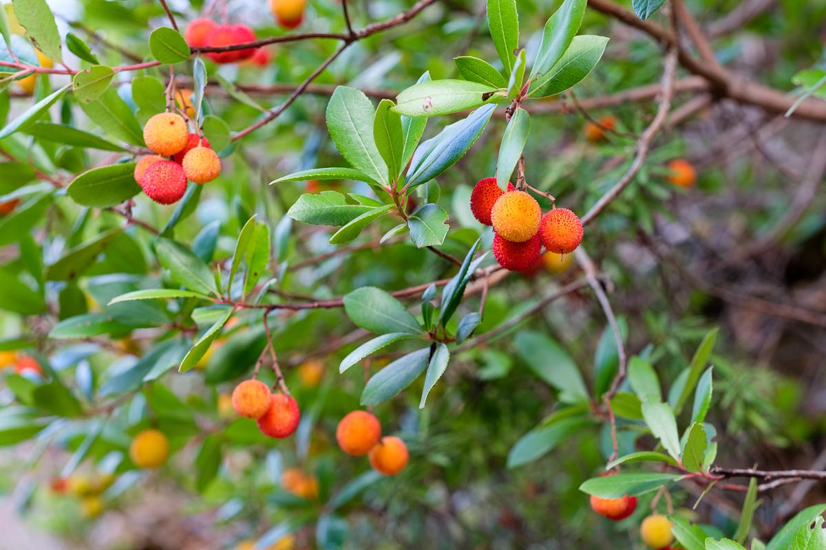 Arbutus fruit