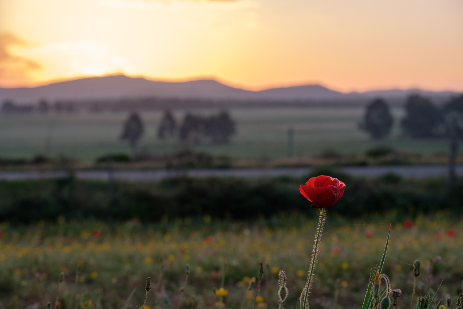 Poppy at sunrise